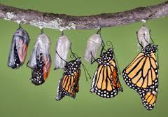 Caterpillar cocoon 4